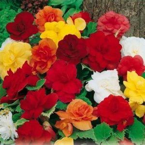 Bégonias erecta à fleurs doubles variées (lot de 4)