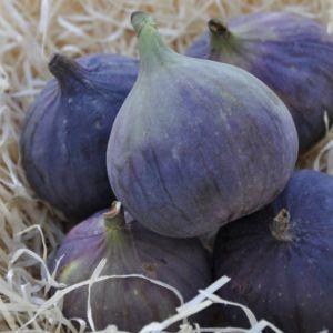 Figuier 'Brown Turkey'- Pot de 5 litres- PLANTES ET JARDINS – Jardinerie en ligne