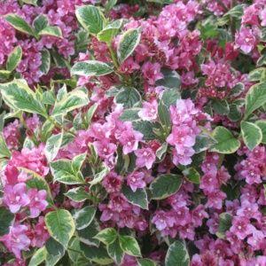 Weigelia rose panaché
