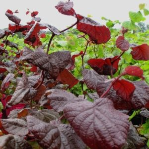 Noisetier tortueux pourpre (Corylus avellana 'Red Majestic')