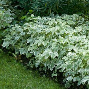 Herbe aux goutteux panachée – Lot de 3 godets – PLANTES ET JARDINS – Jardinerie en ligne