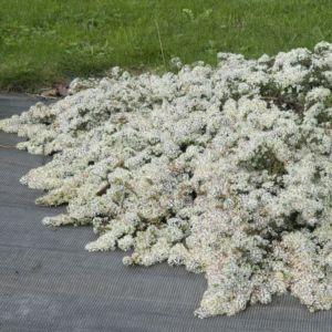 Aster rampant 'Snow Flurry' (Aster ericoides prostratus 'Snow Flurry')
