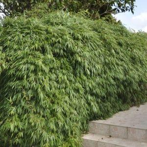 Bambou (non traçant) – Fargesia rufa – bambou en pot (5 litres) – PLANTES ET JARDINS – Jardinerie en ligne