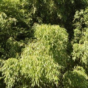 Bambou en pot (15 litres) – Phyllostachys flexuosa – hauteur 200/250 cm – PLANTES ET JARDINS – Jardinerie en ligne