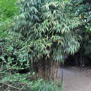 Bambou en pot (7 litres) -Pseudosasa japonica – hauteur 80/100 cm – PLANTES ET JARDINS – Jardinerie en ligne