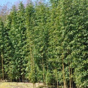 Bambou en pot (15 litres) – Semiarundinaria fastuosa – hauteur 200/250 cm – PLANTES ET JARDINS – Jardinerie en ligne
