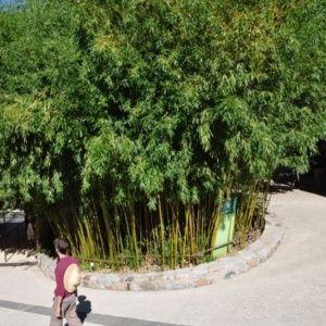Bambou Phyllostachys humilis – Pot de 12 L hauteur 200/250cm – PLANTES ET JARDINS – Jardinerie en ligne
