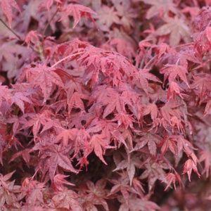 Erable du Japon 'Deshojo' (Acer palmatum 'Deshojo')