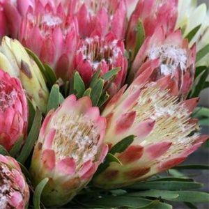 Protea repens (Protea repens)