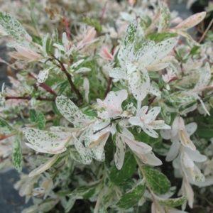 Saule 'Hakuro-Nishiki' (Salix integra 'Hakuro-Nishiki')