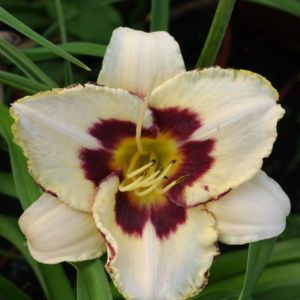 Hemerocallis moonlight masquerade  – En pot de 14 cm
