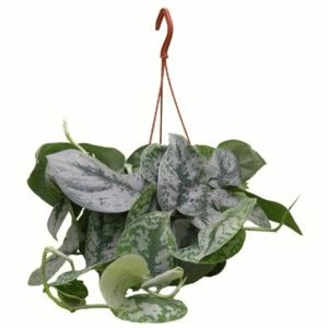 Scindapsus – Plante grimpante d'intérieur – Suspension 30/35 cm – aracées – PLANTES ET JARDINS – Jardinerie en ligne