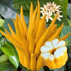 Cédratier 'Main de Bouddha' (Citrus medica 'Digitata')