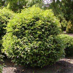 Laurier palme Rotundifolia – Pot de 4 litres, hauteur livré 80/100cm