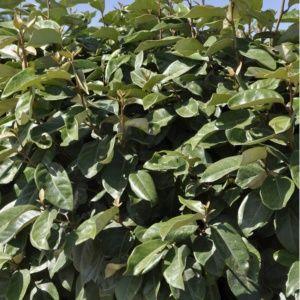 Elaeagnus ebbingei – Pot de 4 litres, hauteur 40/60 cm – PLANTES ET JARDINS – Jardinerie en ligne