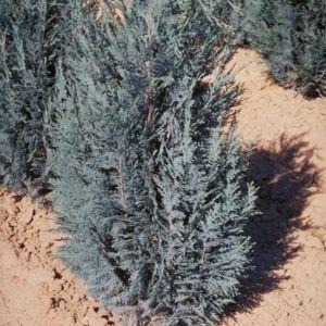 La Haie Tranquille bleue (Chamaecyparis lawsoniana Columnaris)