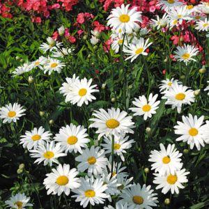 Leucanthemum maximum etoile d'anvers – Lot de 3 godets de 7 cm
