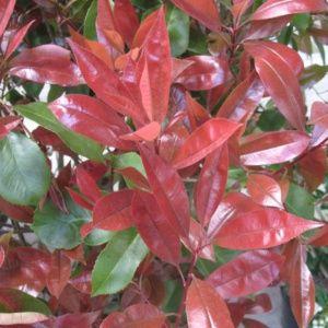 Photinia Red Robin – Pot 3L – Hauteur 40/60 cm – PLANTES ET JARDINS