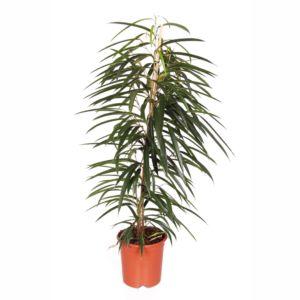 Ficus à longues feuilles alii- En pot de 21cm , hauteur 105cm