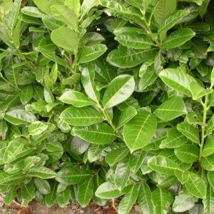 Laurier palme 'Rotundifolia' (Prunus laurocerasus 'Rotundifolia')