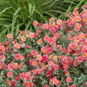 Helianthemum ben hope – Lot de 3 godets de 7 cm