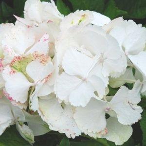 Hortensia 'Soeur Thérèse' (Hydrangea 'Soeur Thérèse')