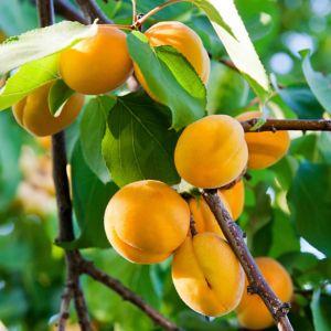 Eclaircir les fruits de l 39 abricotier le magazine gamm vert - Taille de l abricotier ...
