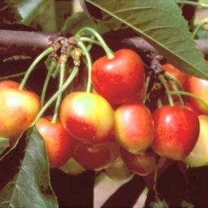 Cerisier 'Bigarreau Napoléon' : taille demi-tige, en pot 12 L
