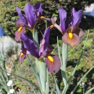 25 Iris de Hollande 'Gipsy Beauty'
