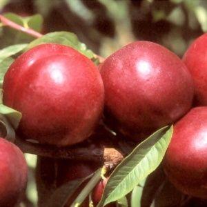 Nectarinier 'Morton' : taille demi-tige, en pot 12 L (Prunus persica 'Morton')