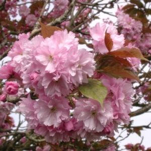 Cerisier à fleurs Kanzan