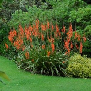 Watsonia à fleurs oranges – Pot de 4 litres