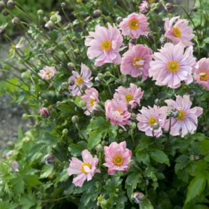 Anémone du japon 'Konigin Charlotte' (Anemona hupehensis 'Konigin Charlotte')