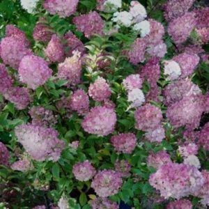Hortensia paniculata 'Sundae Fraise'® (Hydrangea paniculata 'Sundae Fraise'®) – Pot de 4 litres – PLANTES ET JARDINS – Jardinerie en ligne
