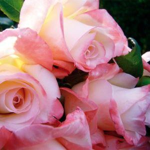 Rosier 'Maurice Schiliger®' (Rosa x 'Maurice Schiliger®'Guimasch)