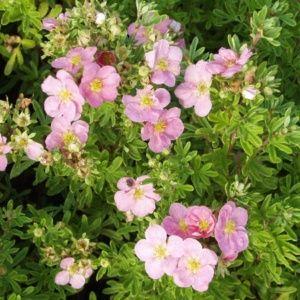 Potentille fruticosa 'Lovely Pink' – Pot de 3 litres, hauteur 25/30 cm – PLANTES ET JARDINS – Jardinerie en ligne