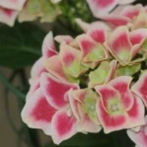 Hortensia 'Red Ace'® – pot de 5 litres, 7/10 branches