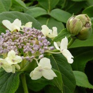 Hortensia involucrata 'Late Love' – pot de 3/4 litres, 5/7 branches, 2 ans d'âge