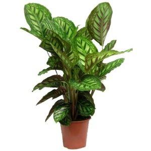 Maranta 'Flame Star' – Plante verte d'intérieur – 70/75 cm de Hauteur – PLANTES ET JARDINS – Jardinerie en ligne
