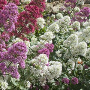 Centranthus ruber albus – Lot de 3 godets de 7 cm