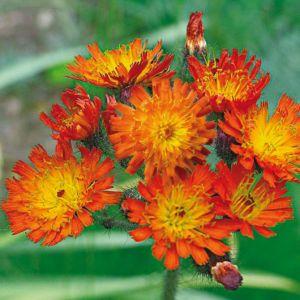 Hieracium aurantiacum – Lot de 3 godets de 7 cm