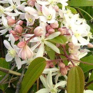 Clématite armandii 'Apple Blossom' – Pot de 3 litres