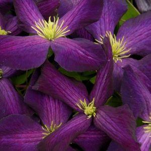 Clématite 'Jackmani purpurea'® – Pot de 3 litres