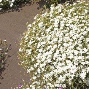 Dianthus deltoides albus – Lot de 3 godets de 7 cm