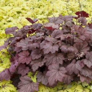Heuchère 'Georgia Peach'® (Heuchera 'Georgia Peach'®)