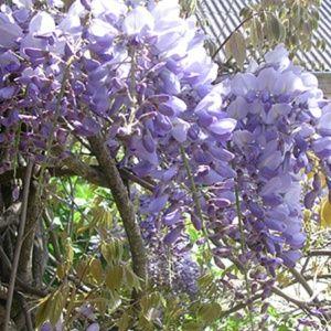 Glycine de Chine – Wisteria sinensis bleue – Pot 3L – sur tuteurs tipi – PLANTES ET JARDINS – Jardinerie en ligne