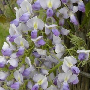Glycine du Japon 'Caroline' – Pot de 3 litres