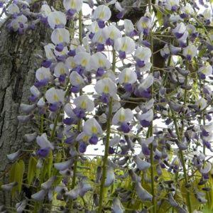 Glycine du Japon 'Macrobotrys' (Wisteria floribunda 'Macrobotrys')