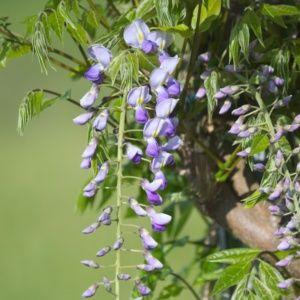 Glycine du Japon 'Prematura' (Wisteria floribunda 'Prematura')