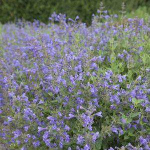 Chataire Nepeta blue dragon ® – Lot de 3 godets de 7 cm